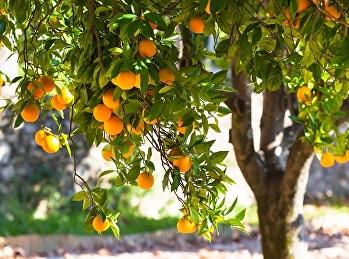 ในส้มมีวิตามินซีเท่าไหร่ ?